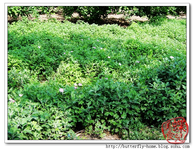 小小牵牛花   还未成熟的小毛桃   葡萄架   还在幼年的葡萄   青绿的花椒   叫不上名字的花   小枣林   挂满枝头的苹果   这个长得大些   幽静的林间小路   碧绿的小草   菊花