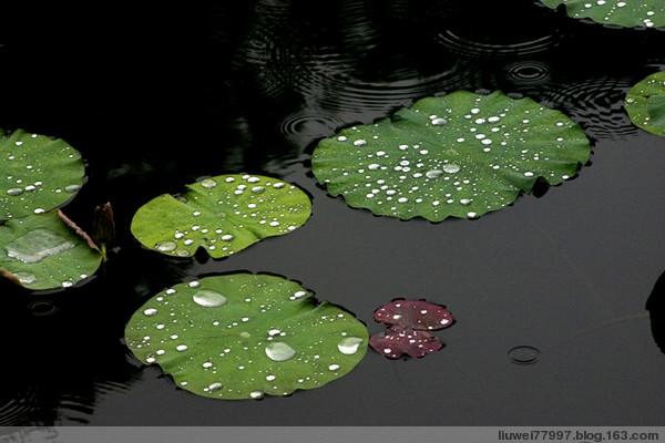 夏初时雨后的荷叶 - 刘炜大老虎 - liuwei77997的博客