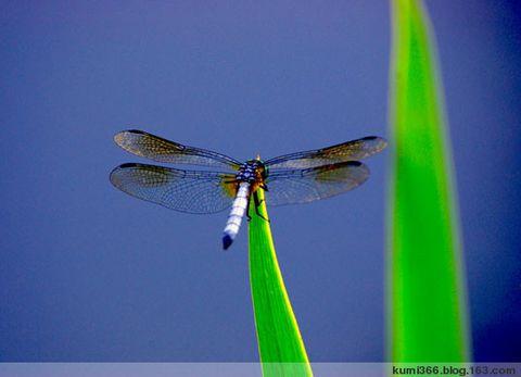 蜻蜓 - kumi366 - kumi366的博客