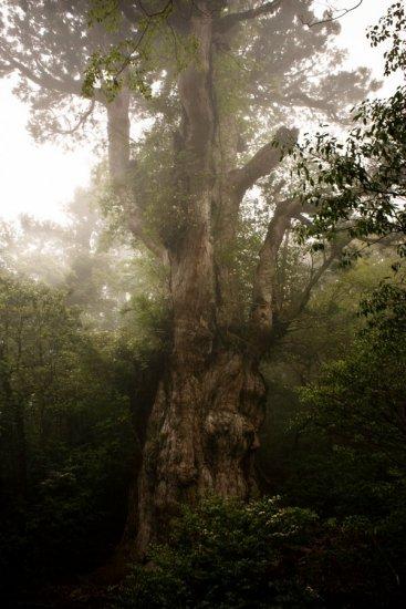 地球上现存最古老树木8万岁   - 蝶梦飞飞aiq - 蝶梦飞飞aiq