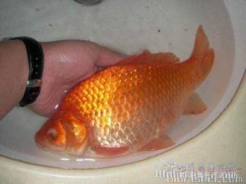 [原创]为首届老网人钓的最漂亮的一条鱼评比获奖图配诗 - 梧叶飘黄 - 梧叶飘黄的博客