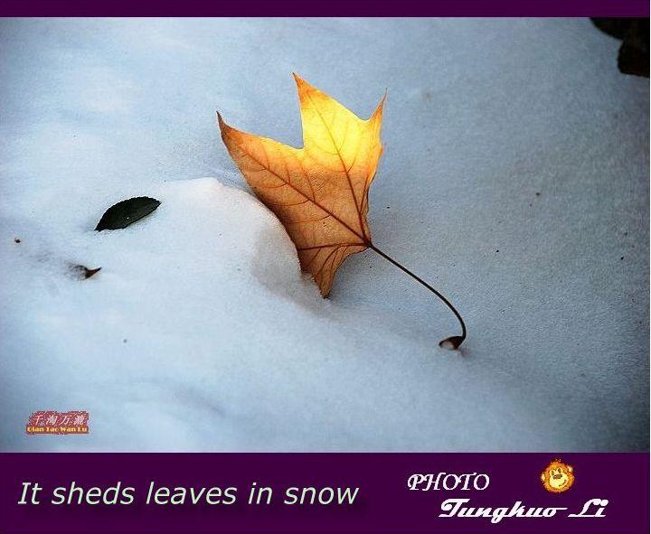 雪中的叶子(PIC Original) - 千淘万漉 - 千淘万漉 de 花果山