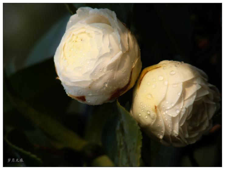 茶花赋(白色)【原创摄影】 - 岁月无痕 - 岁月无痕