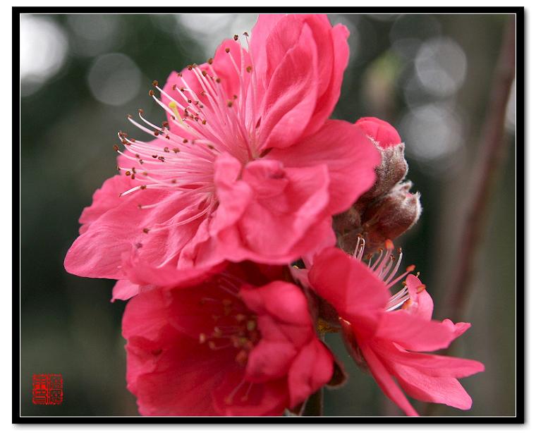 春光乍现--桃花 - 沥沥雨 - 沥沥雨的博客