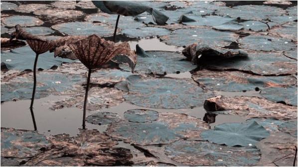 [原]深圳·四海公园里的荷花 - Tarzan - 走过大地