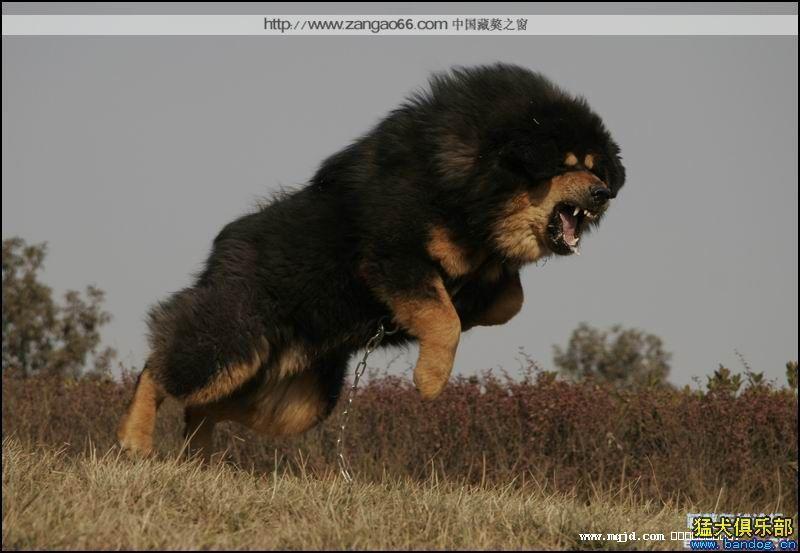 中华藏獒pk日本大纯狗,中华藏獒种狗,比藏獒打架厉害两种狗,高清图片