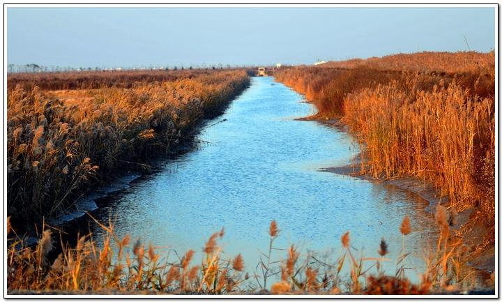 (原创)黄海湿地自驾游(3)——芦苇 - 鱼笑九天 - 鱼笑九天