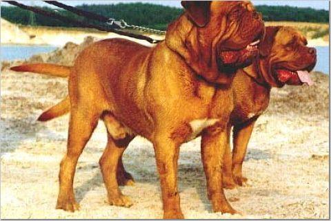 世界上最凶猛的14种猛犬 - 笑八仙 - 笑八仙 的博客