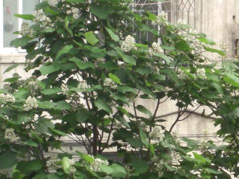 梧桐树 原创 -         香草 - 香草的艺术小屋