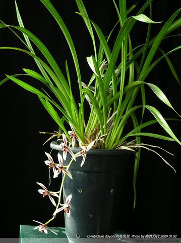 在寒风中开放的冬凤兰Cymbidium dayanum  - 密叶万代 - 密叶的天堂