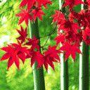 麓山红叶 - 秋雨禅声 - 秋雨禅声的博客