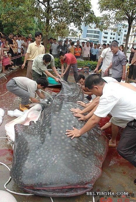 临朐冶源水库公园惊现吃人鱼!!!!! - 花开有声 - 花开有声