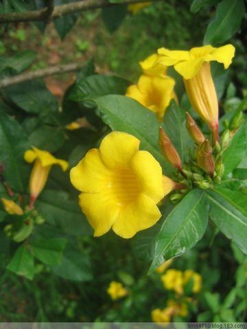 原 创  黄 蝉 (兰州园丁摄於云南) - 兰州园丁ljm44713 - 我的博客原创照片,欢迎指导