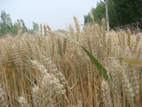 麦子熟了(原创) - 荒村孤笠 - 荒村孤笠的博客
