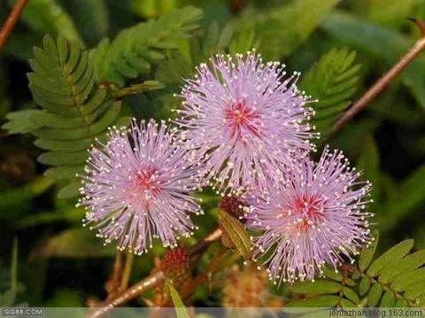 六月:含羞草 - jenia - 绿啫哩