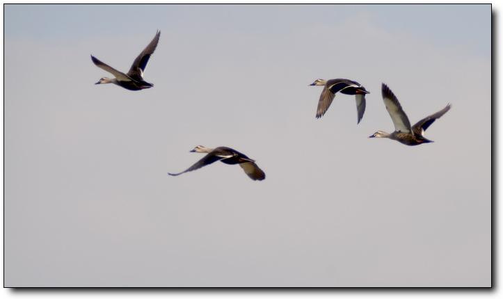 (原创)黄海湿地自驾游(7)——野鸭 - 鱼笑九天 - 鱼笑九天