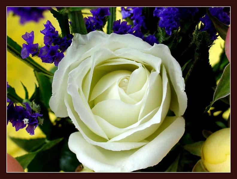 鲜花送给屏前的你 - 红叶 - 红叶的博客