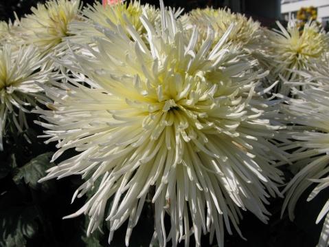 菊花 - 过客 - 过客的碎屑