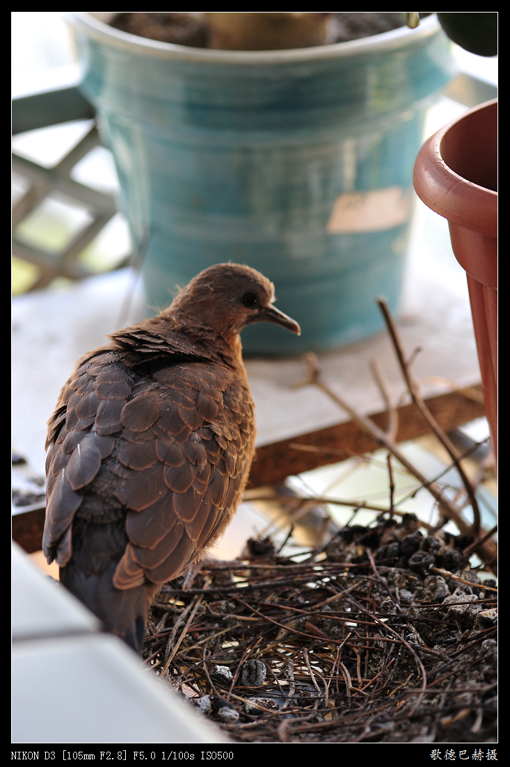 我家花架上的珠颈斑鸠---原创 - 歌德巴赫 -                 歌德巴赫
