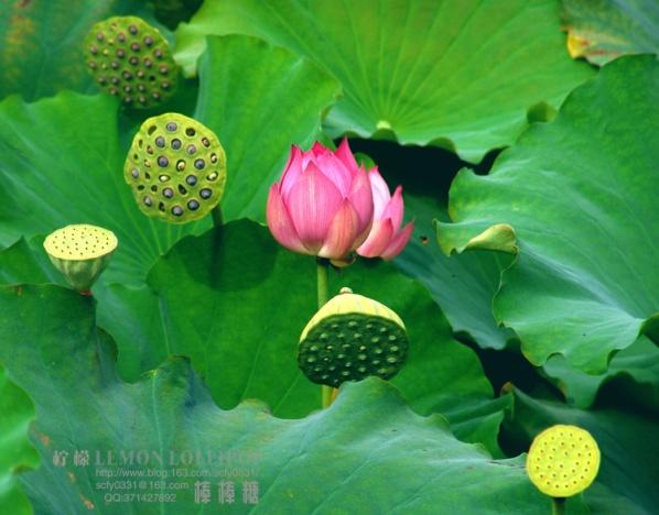 【原创】_花季...娜娜猪 - 柠檬棒棒糖 - 柠檬棒棒糖的美丽田园
