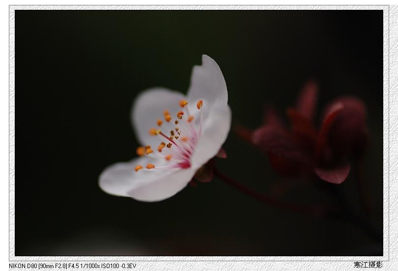 [原创摄影]山樱花 - 寒江独钓翁 - 非丝非竹醉翁居