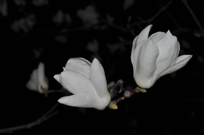 玉兰花(之一) - 陶东风 - 陶东风