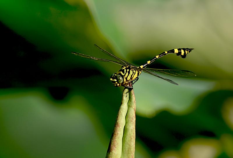 [原创]蜻蜓一只 - 歪树 - 歪树