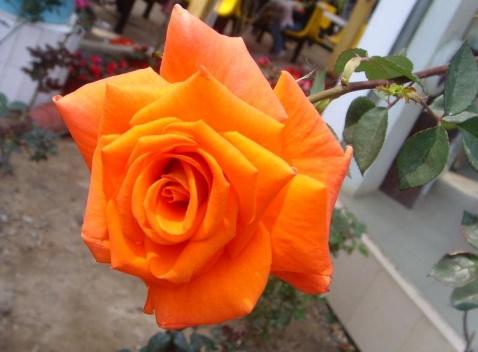 玫瑰(原创) - 憨憨 - 寻春