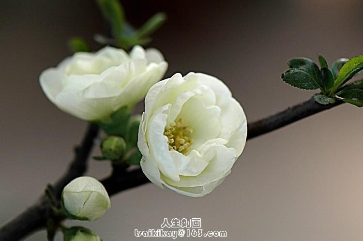 微距摄影]海棠花 - 伴月轩主 - 伴月轩主