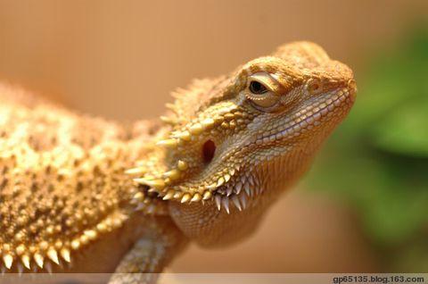 我的鬃狮蜥蜴 - 六月荷花 -  六 月 荷 塘