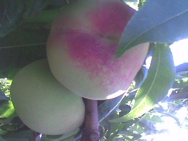 各种水果的药理作用 - 老李 - 我的博客