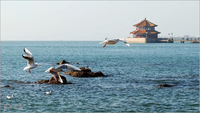 [原创]鸟影07海鸥——栈桥鸥影 - 迁徙的鸟 - 迁徙鸟儿的湿地