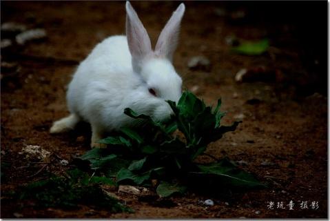 养了两只小白兔