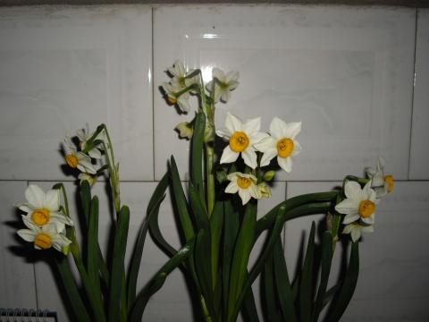 水仙花儿开了 - 和风细雨 - 和风细雨的博客