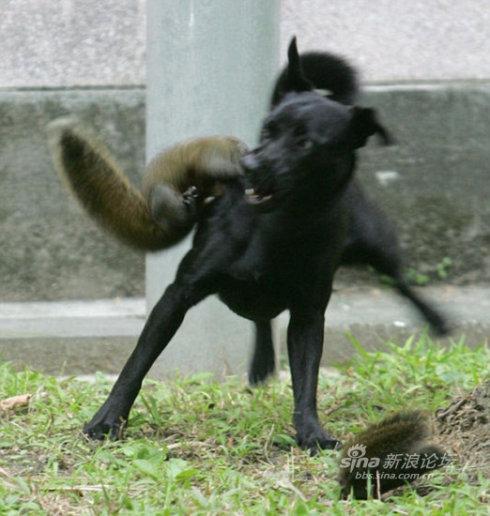 松鼠救子斗恶犬 (组图) - 老藤 - tengxuyan 的博客
