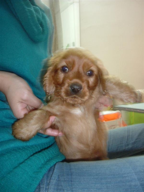 萨博是一只很好养的狗狗,一天喂它两顿,白米饭加点肉末或者高清图片