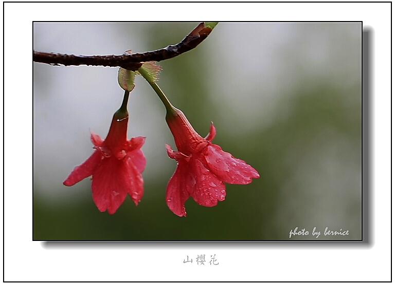 【原创摄影】陌上樱花红 - 王工 - 王工的摄影博客