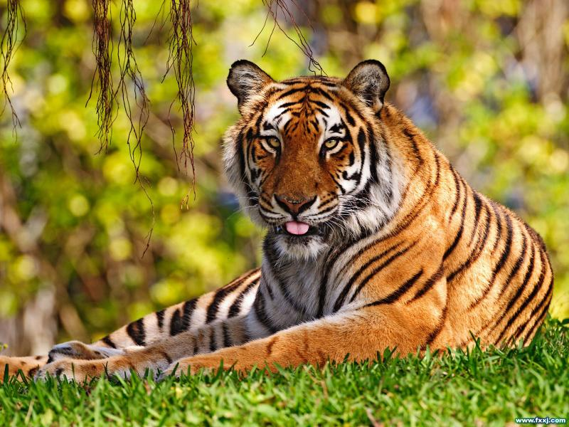 (转)属虎人的性格 - 野狂人 - 好人园——和谐的家园