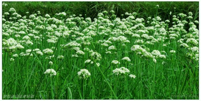 兰州.春辉时节韭黄香_行走在西部的草原_新浪博客 - 行走在西部的草原 - 行走在西部的草原