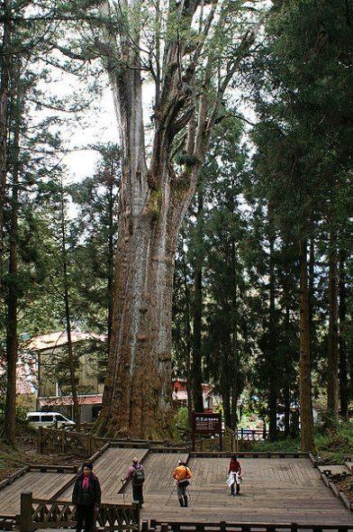 阿里山神树