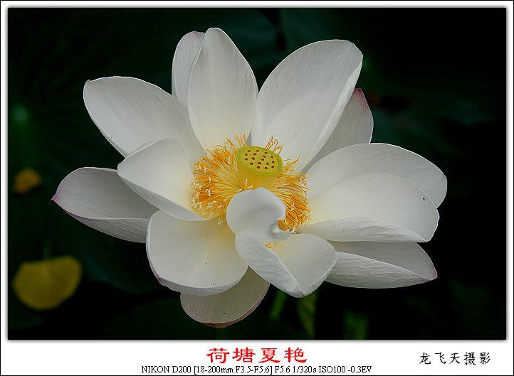 (原创摄影)荷塘夏艳之四 - 龙飞天的日志 - 网易博客