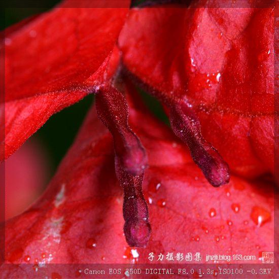 [原创] 红叶似花的三角梅(2/2) - 子力 - 子力摄影图集