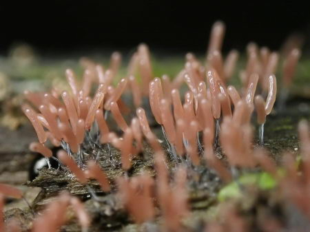 【转帖】黏菌 - hampc168 - 茉莉花