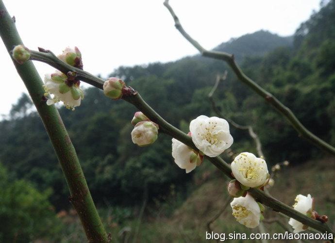 福州森林公园赏梅花(随走随拍图片) - 老猫侠 - 老猫侠的博客
