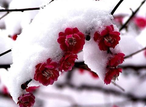 【柔儿原创】七绝·题图雪梅寄怀 - 柔儿 - 雪中馨的博客