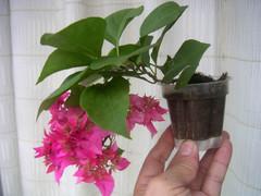 木艮老师的微型三角梅照片 - fdycq - 费家村----老费的三角梅花园
