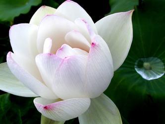 夏日的最后一朵莲
