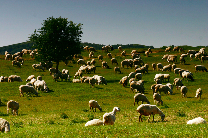 (原创摄影)草原上的肥羊 - 刘炜大老虎 - liuwei77997的博客