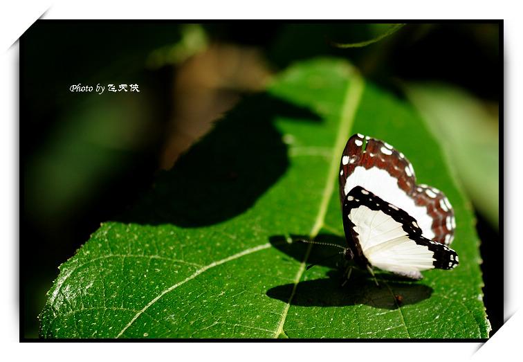 [原摄]白色精灵--白蚬蝶(2) - 飞天侠 - 飞天侠的摄影视界