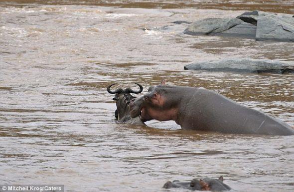 重获自由:让人难以置信的事发生了,河马帮助受困的牛羚摆脱了困境